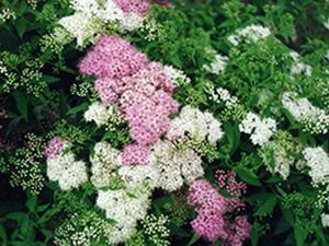 Spirea-japonica-Shirobana