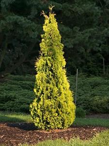 Thuja-Yellow-Ribbon