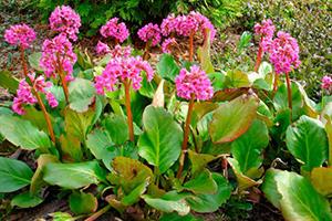 теневыносливые многолетние растения - бадан