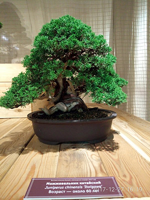 bonsai mozevelnik