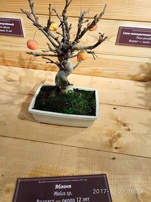 iablonia bonsai