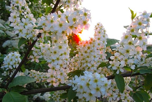 Великолепие сортов деревьев и кустарников на Урале и где лучше покупать -
