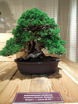 bonsai mozevelnik