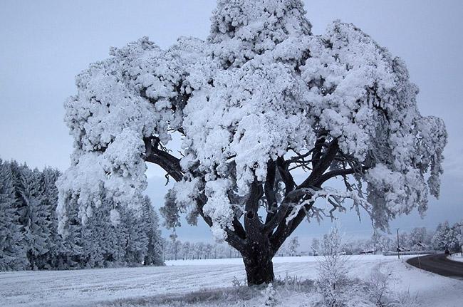 sneg na dereve